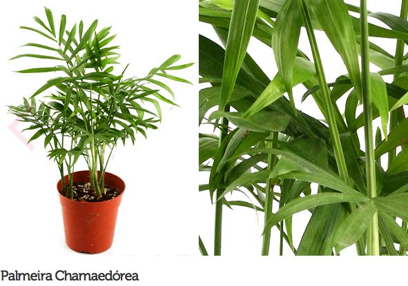 espécie de plantas para escritório ou consultório 8