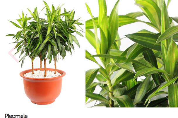 espécie de plantas para escritório ou consultório 10
