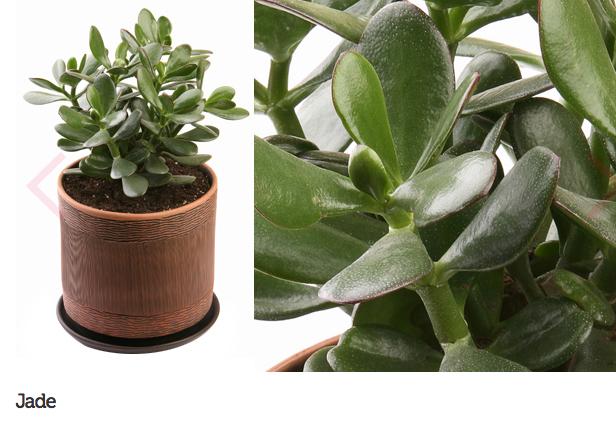 espécie de plantas para escritório ou consultório 3