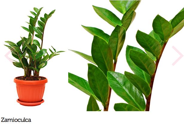 espécie de plantas para escritório ou consultório 1