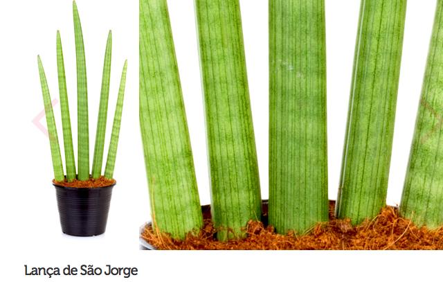 espécie de plantas para escritório ou consultório 11