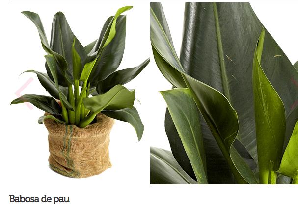 espécie de plantas para escritório ou consultório 6